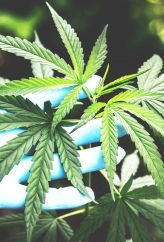 cannabis with gloved hand